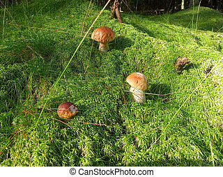 Photo of boletus edulis or cep in a forest moss