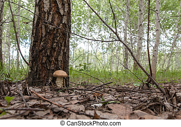 boletus mushroom grows close to the birch
