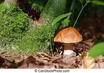 boletus mushroom in sunny forest