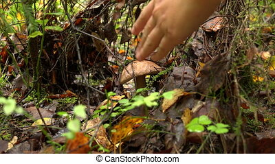 Boletus mushroom in the forest.