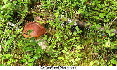 boletus mushrooms and blueberries in forest - boletus...