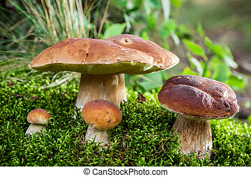 Boletus mushrooms on moss at dawn in the forest