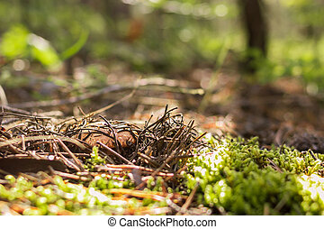 Boletus, suillus luteus, hidden under the moss and fallen needles at sunny morning in coniferous forest, selective focus