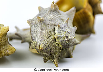 Bolinus brandaris, an edible marine gastropod mollusk, known...