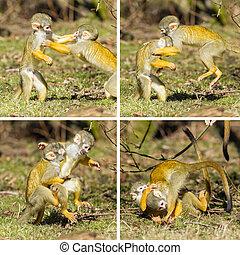 boliviensis), squirrel, jonge, vecht, twee, (saimiri, aapjes