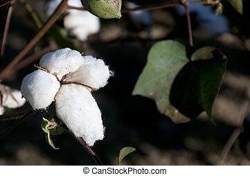 bolls algodão