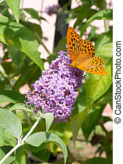 Boloria euphrosyne - Pearl bordered fritillary butterfly -...