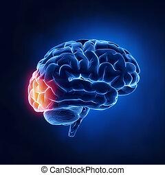 boltec, -, okcipitální, mozek, lidský, rentgen, názor