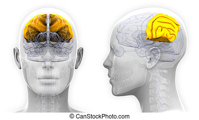 boltec, -, osamocený, lebeční, anatomie, mozek, samičí, ...