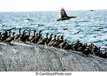 bom, esperança, áfrica, gaivotas, pedras, cormorants, ondas, capa, sul, bata