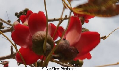 Bombax - Blossoms of the Red Silk Cotton Tree