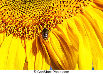 Bombus and sunflower on a field. Shallow depth of field