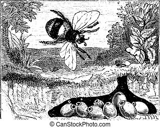 bombus, o, buff-tailed, nido, terrestris, engraving., ...