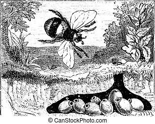 Bombus terrestris also known as buff-tailed bumblebee, bumblebee, nest, vintage engraved illustration of Bombus terrestris, nest.