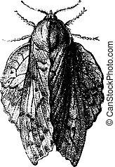 Bombyx oak leaf, vintage engraving.