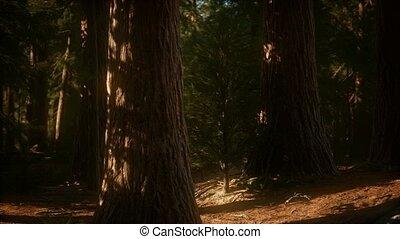 bomen, nationaal park, 8k, reus, summertime, sequoia