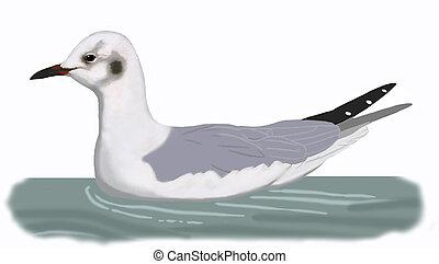 Bonapartes Gull - Larus philadelphia - winter