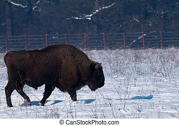bonasus), (bison, bisonte, inverno, europeu