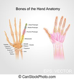 bone of the hand anatomy - Fingers contain some of the...