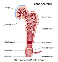 Bone structure - Anatomy of a long bone, eps8