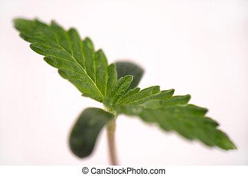 boneca, broto, sobre, strain), marijuana, isolado, cannabis,...