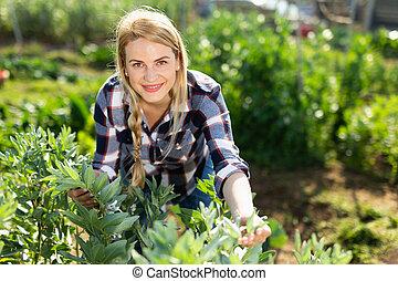 bonen, vrouw, jonge, werkende , tuinman, zonnig, seedlings, tuin