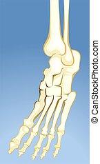 Bones - Illustration of human leg bones