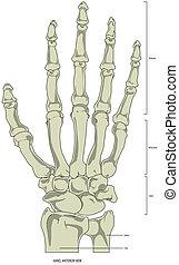 Bones of a Human Hand