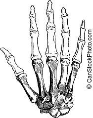 Bones of a Human Hand, vintage engraving - Bones of a Human...