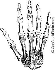 Bones of a Human Hand, vintage engraving