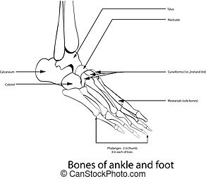 Bones of ankle and foot,