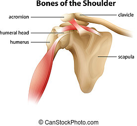 Bones of the Shoulder - Illustration showing the bones of...
