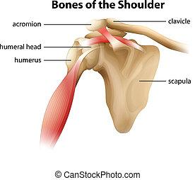 Illustration showing the bones of the shoulder