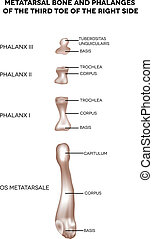 Bones of the lower extremity. Metatarsal bone and phalanges of the third toe of the right side. Detailed medical illustration. Isolated on a white background. Bright and clean design.