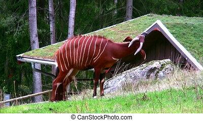 Bongo Antelope 1