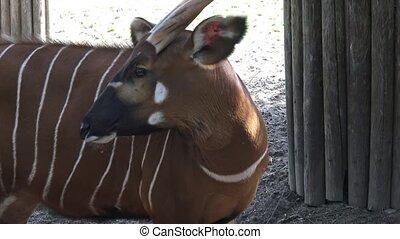 Bongo antelope (Boocercus euryceros isaaci)