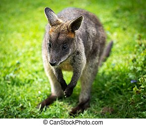 bonito, ágil,  wallaby