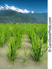 bonito, água, terra cultivada, arroz