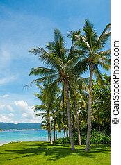 bonito, árvore coco, tropicais, praia palma