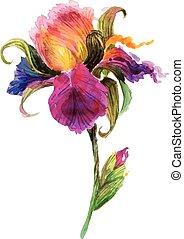 bonito, aquarela, íris, flor