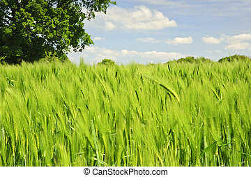 bonito, azul, vívido, árvore, imagem, carvalho, campo, único, fundo, crescendo, agrícola, milho, céu