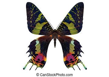bonito, borboleta, isolado, ligado, um, branca