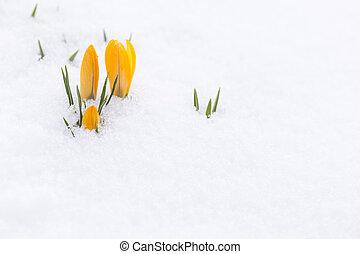 bonito, brotos, cutucar, neve, amarela, açafrão, através, fresco