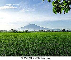 bonito, campo arroz