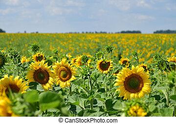 bonito, campo, flores, tarde, girassol
