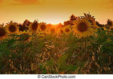 bonito, campo, girassóis, pôr do sol, florescer