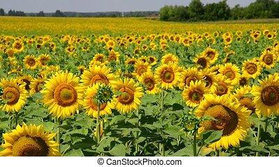 bonito, campo, rússia, girassol, florescer