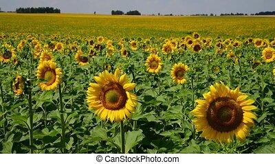 bonito, campo, sunflowers., rússia, florescer