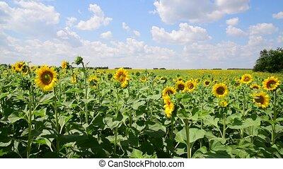 bonito, campos, girassóis, florescer