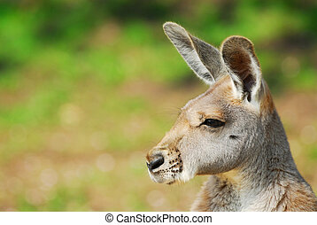 bonito, canguru